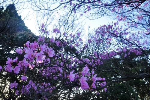 8アケボノツツジ篠山14.04.25