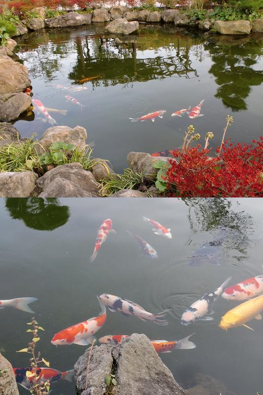 全日本錦鯉振興会から寄贈された子たち