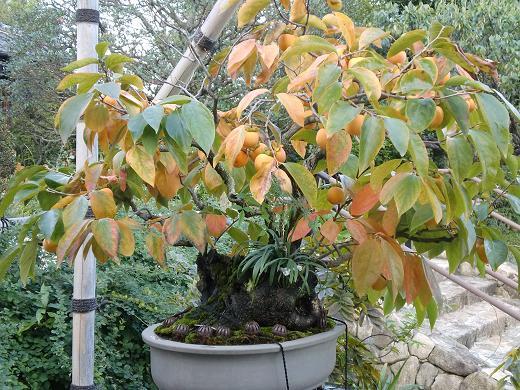 柿の盆栽って初めて見たよ