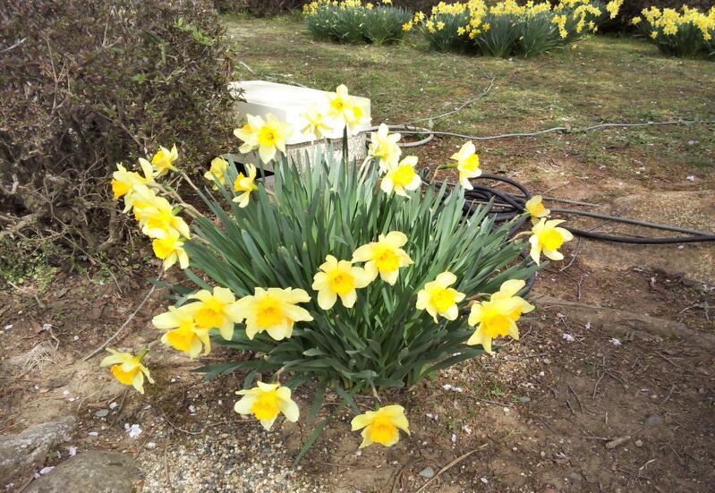 水仙の黄色もとてもきれい