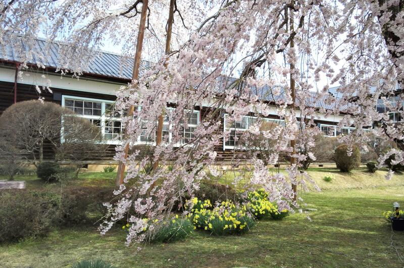 枝垂れ桜越しの木造校舎