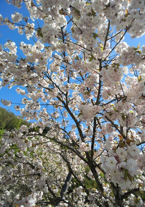 八重桜も可愛らしい