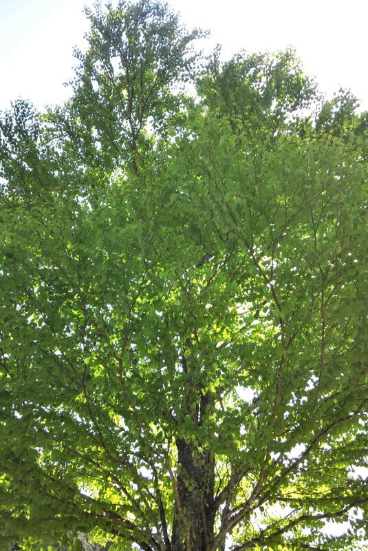 新緑の美しいカツラの木