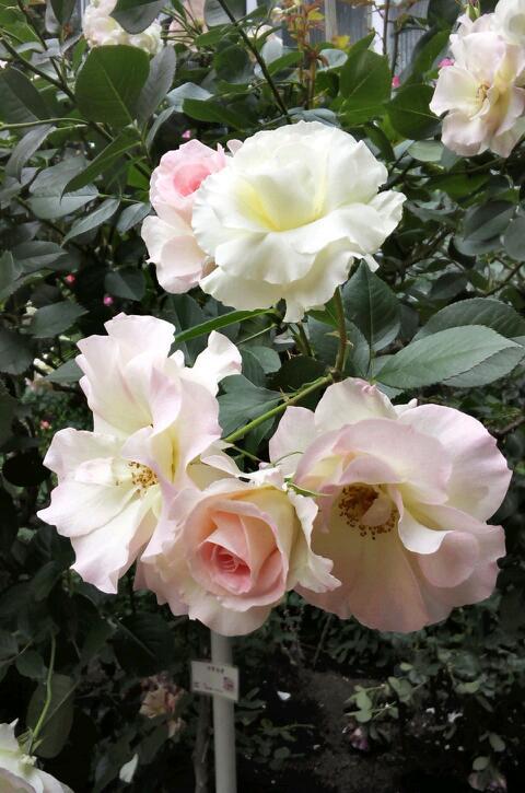 5月のバラ1