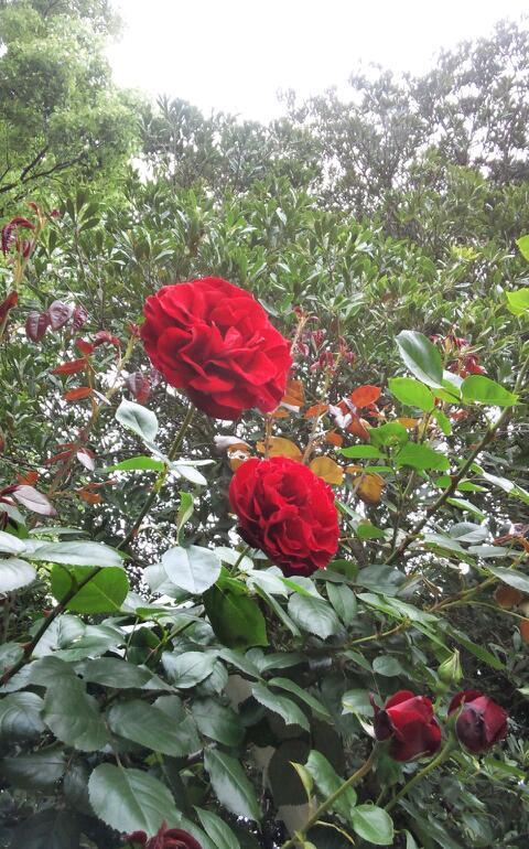 5月のバラ2