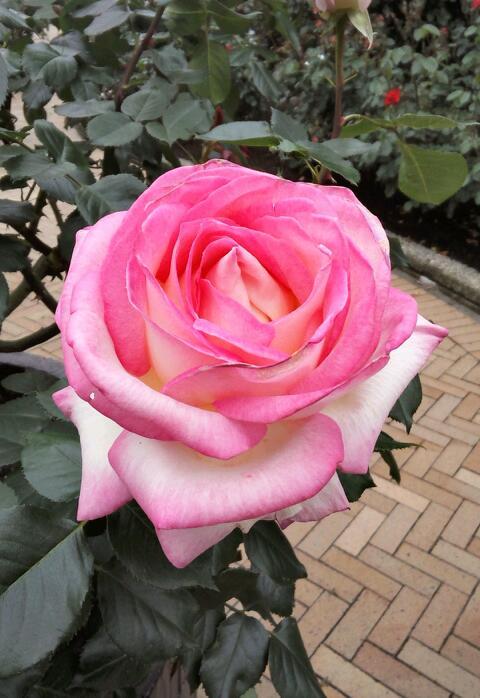 5月のバラ4