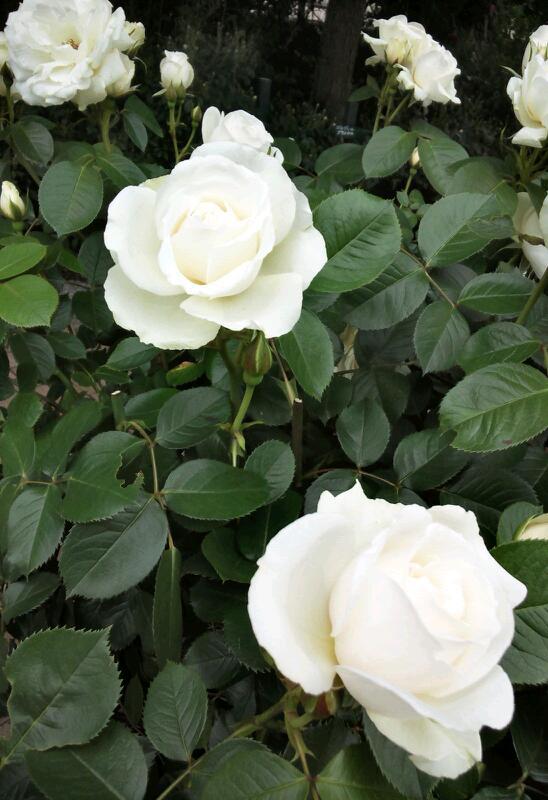 5月のバラ6