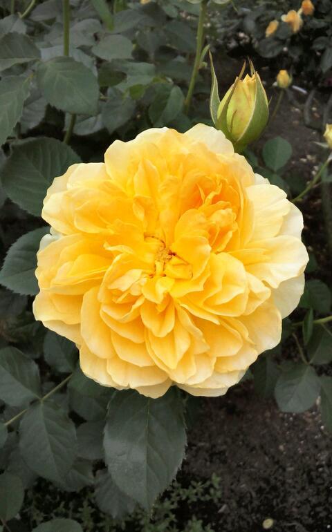 5月のバラ13