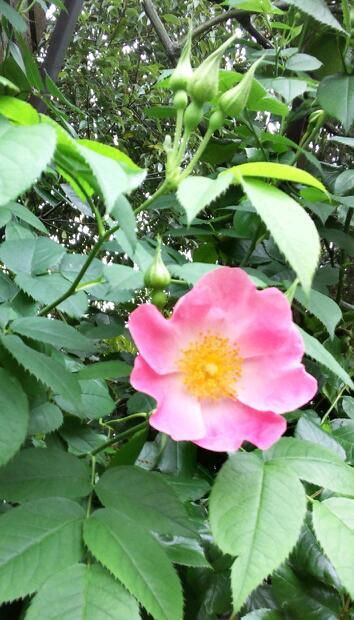 5月のバラ10