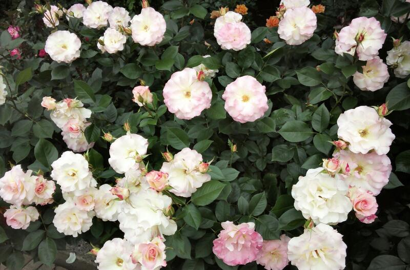 5月のバラ11