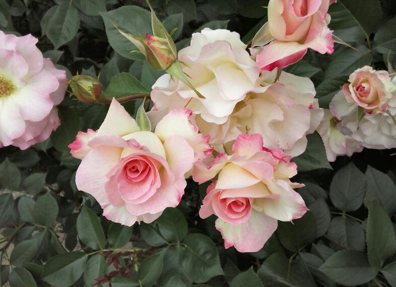 5月のバラ12