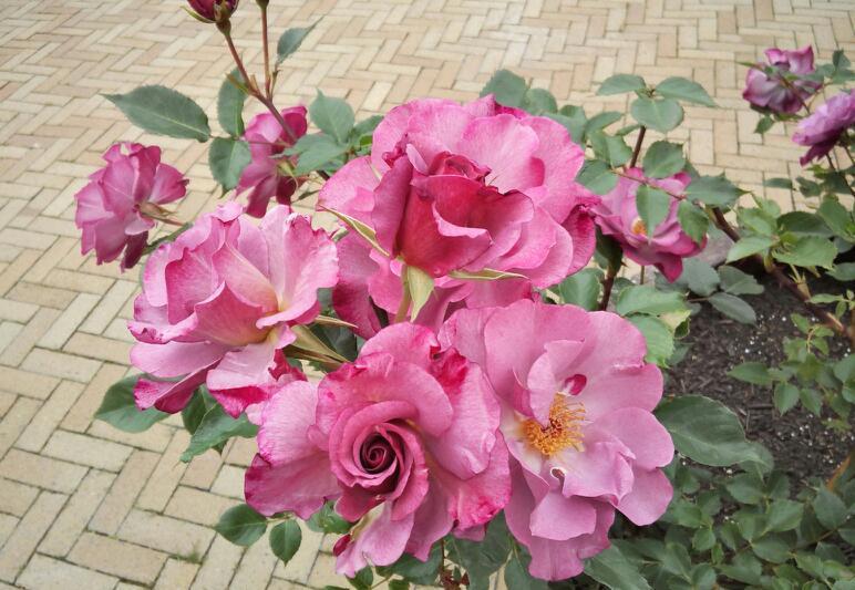 5月のバラ14