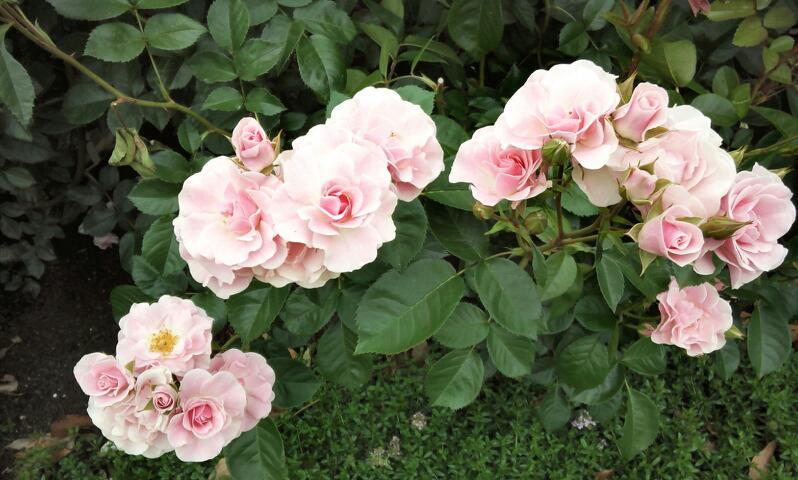 5月のバラ15