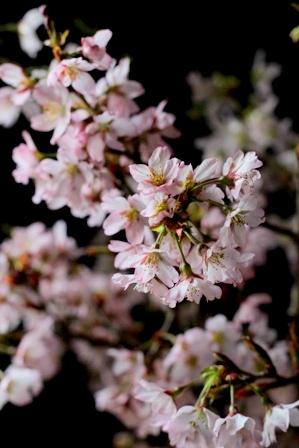 農協で買った桜 (5)