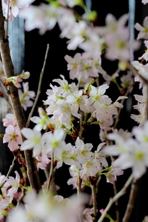 農協で買った桜 (6)