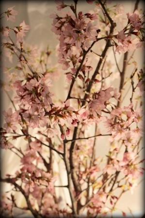 お星様ランプと桜 (5)