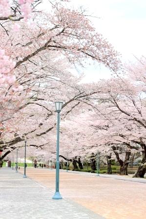 福島の桜 (4)