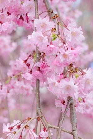 福島の桜 (2)