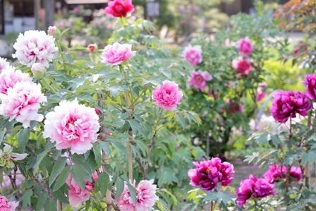 須賀川牡丹園 ブログ (2)