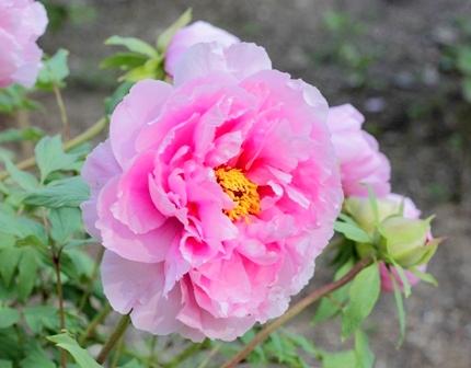 須賀川牡丹園 ブログ