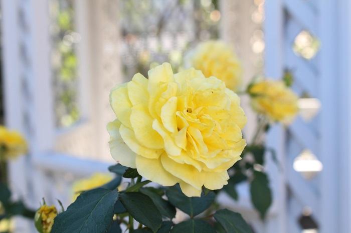 函館の薔薇