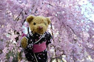 ベァーと桜
