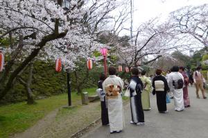 桜と和服姿