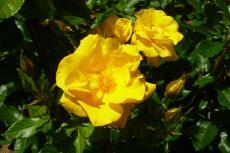 薔薇 黄色