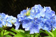 緑花センター(紫陽花とカマキリ)
