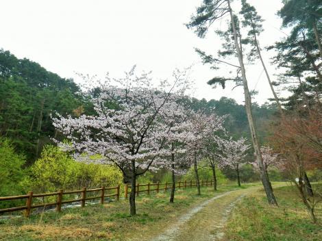 2014 御座松 桜