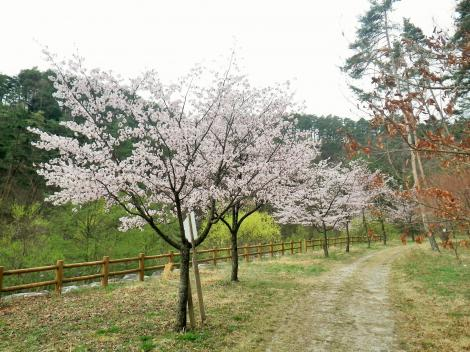 2014 御座松 桜 花見