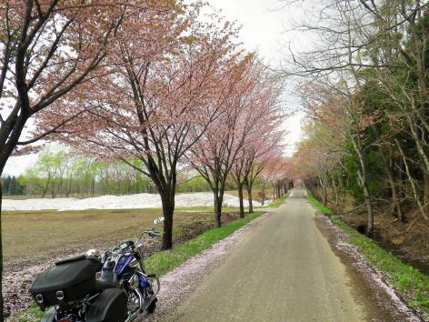 世界一の桜並木 5月