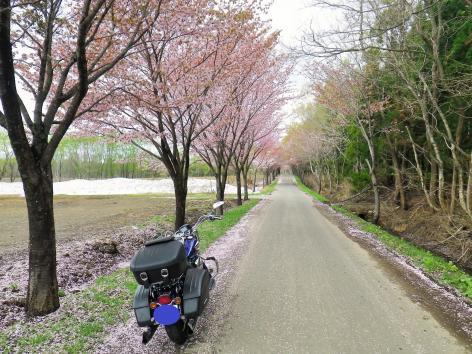 世界一の桜並木 弘前