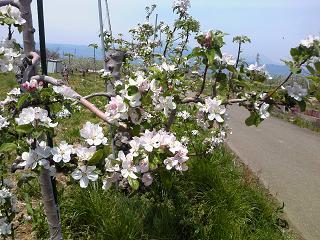 H26白いリンゴの花