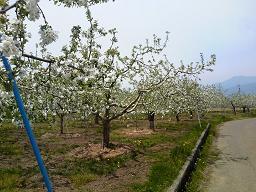 H26リンゴの花