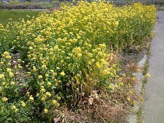 h26菜の花