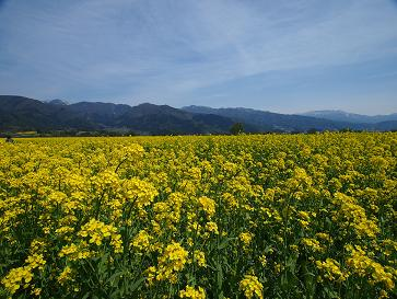 H26菜の花の海原