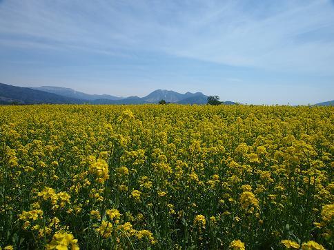 H26GW菜花と高社山