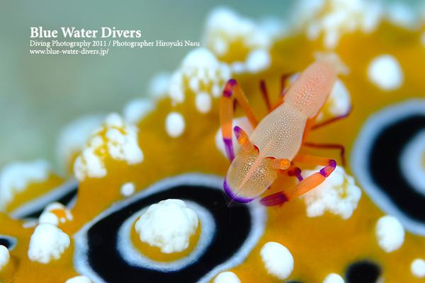 ウミウシカクレエビキイロイボウミウシ