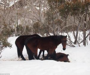 wild-horse-cannibal-australia.jpg