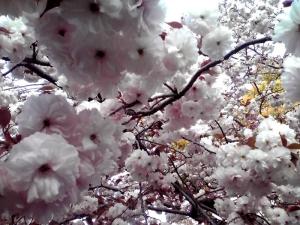 造幣局 桜の通り抜け 2014 Part7(普賢象)