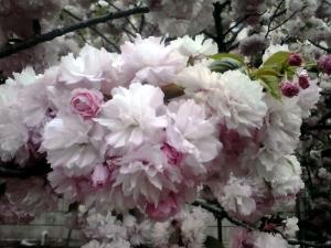 造幣局 桜の通り抜け 2014 Part7(手毬)