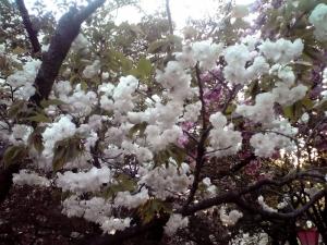 造幣局 桜の通り抜け 2014 Part7(渦桜)