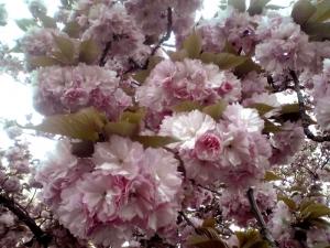 造幣局 桜の通り抜け 2014 Part8(麒麟)