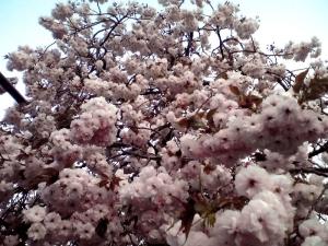 造幣局 桜の通り抜け 2014 Part8(普賢象)