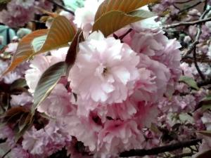造幣局 桜の通り抜け 2014 Part8(関山)