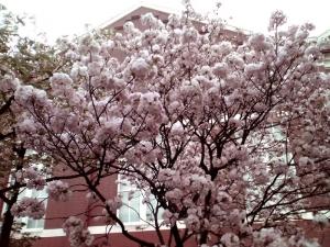 造幣局 桜の通り抜け 2014 Part8(簪桜)