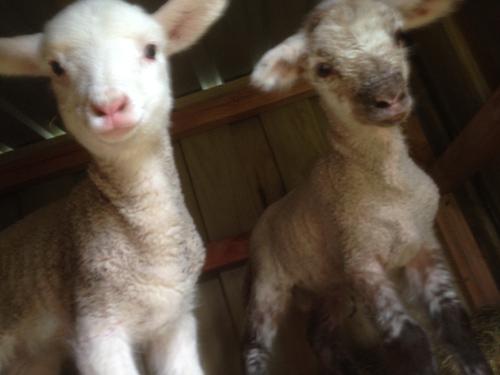 羊の国のラブラドール絵日記シニア!!「かわいちょうな、あたち」写真1