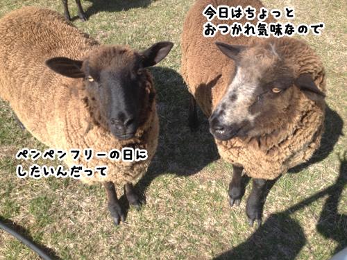 羊の国のラブラドール絵日記シニア!!色々のはじめて4