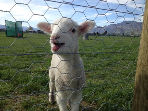 羊の国のラブラドール絵日記シニア!!楽しい仲間5